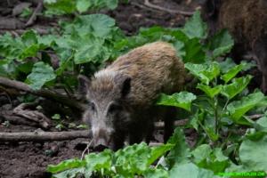 Wildschweine auf der Ketscherinsel