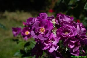 Rosen im Duftgarten