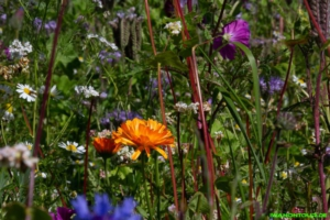 Blumenfeld bei Nöggenschwiel