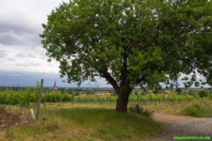 Mandelbaum in den Weinbergen
