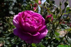 Rosen im Sortimentsgarten
